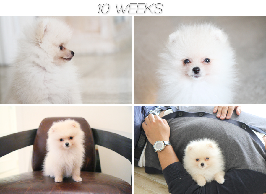 pomeranian 10 weeks Linus is 12 weeks today!!!