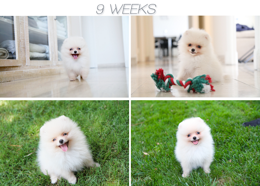 pomeranian 9 weeks Linus is 12 weeks today!!!